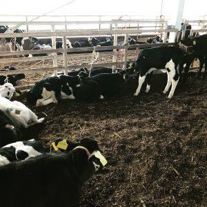 ♯ヌレ子セリー牛の種類の見分け方‼︎^^ー